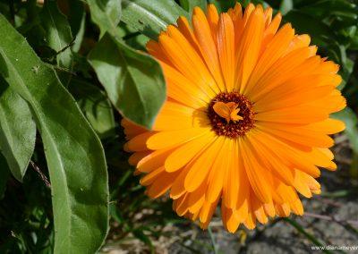 Blume_6