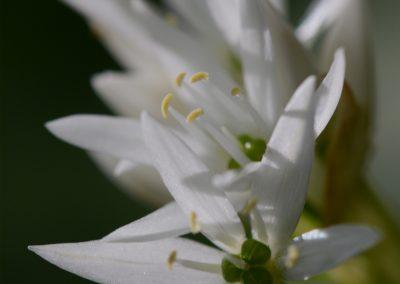 Blume_9